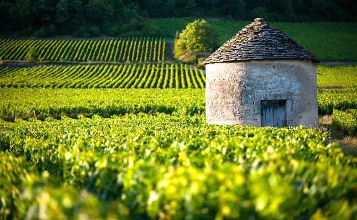 Weingärten an der Côte de Beaune