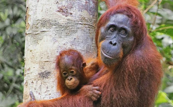 Orang-Utans in Indonesien: Der neue Credit-Suisse-AM-Fonds soll auch dem Umweltschutz zugute kommen