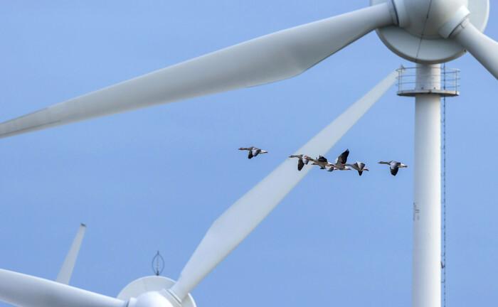 Mit sicherem Abstand fliegen Graugänse an einem Windrad vorbei: Erneuerbare Energien sind ein wichtiger Bestandteil bei ESG-Investments|© Imago Images / Blickwinkel
